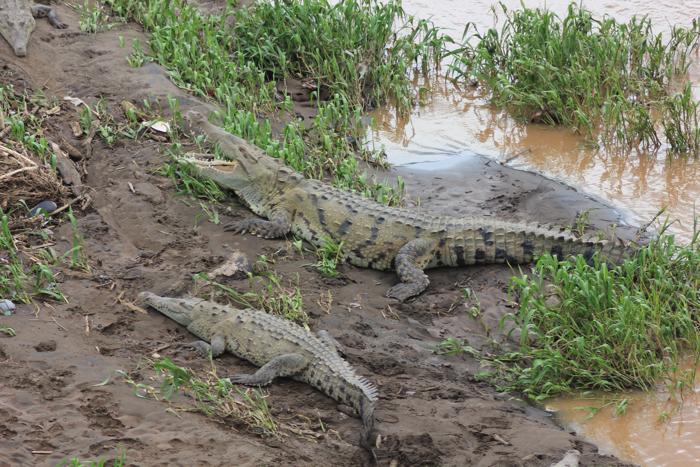 krokodilangriffe auf menschen video