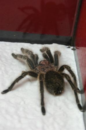 giftige spinnen und skorpione in costa rica. Black Bedroom Furniture Sets. Home Design Ideas